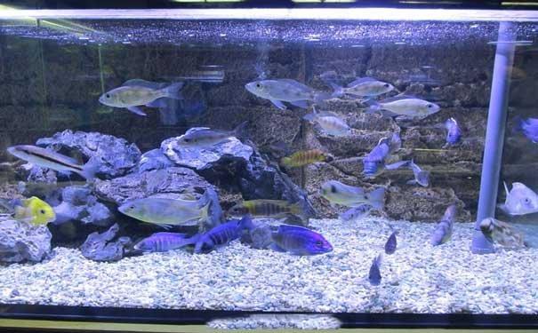 金鱼喂食时间的科学安排